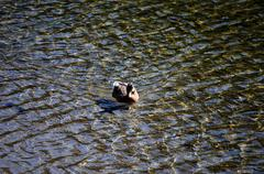 Duck in clear shiny pond Stock Photos