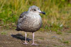 seagull standing on small hill top looking out over pond in summer sunshine - stock photo