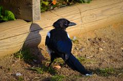 Crow wandering near pond in summer Stock Photos
