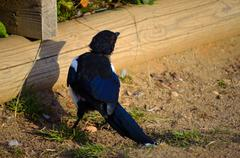crow wandering near pond in summer - stock photo