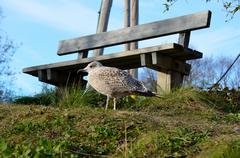 Seagull wandering on trail near pond in summer close up  Stock Photos