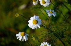 beautiful oxeye daisy wildflowers in the late autumn sun - stock photo