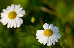 beautiful oxeye daisy wildflowers in the late autumn sun - stock photo