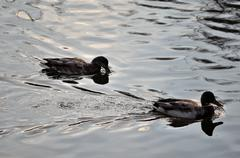 Duck pair in pond Stock Photos