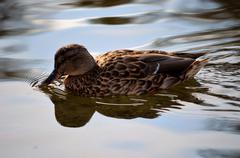 beautiful duck in summer pond water - stock photo