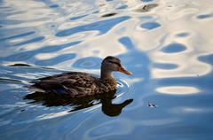 Duck in sunny pond water slowly swimming looking for food Stock Photos