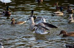 Mallard ducks and seagulls together in a pond in autumn Stock Photos