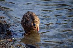 female mallard duck wandering in water looking for food in pond  - stock photo