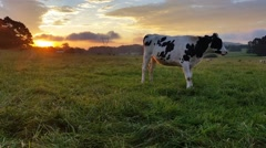 Dairy cattle cow farming sunset / sunrise - stock footage