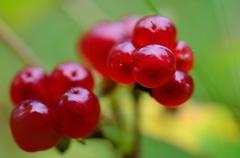 Vibrant and sweet Norwegian wild Stone Bramble berries in summer macro photo - stock photo