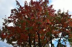 majestic colourful rowan tree in autumn - stock photo