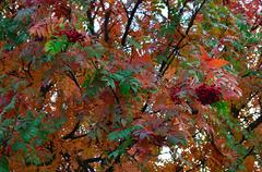 colourful rowan tree in autumn - stock photo