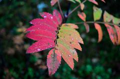 colourful rowan tree branch leaf in autumn - stock photo