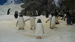 Penguins walking on snow - Mid shot 25p Stock Footage