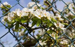 Pear Branch with Flowers transferring a metallic fence Kuvituskuvat