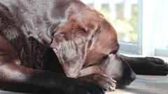 Labrador Dog deep sleep Stock Footage
