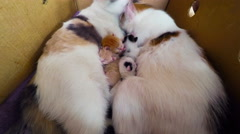 Cat Breast Feeding Kittens,  Newborn kittens with a cat in a basket Stock Footage
