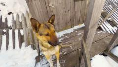 The dog guard the house, animal protects the door and the entrance to the house Stock Footage