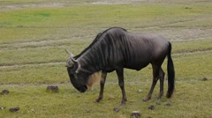 Wildebeest shot at Ngorongoro National Park, Tanzania.Mid shot. Stock Footage