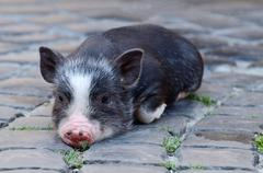 Portrait of little black vietnam piglet lying on the ground - stock photo