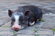 Stock Photo of Portrait of little black vietnam piglet lying on the ground