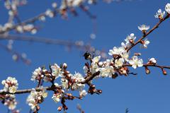 Blossoming of apricot tree flowers - stock photo