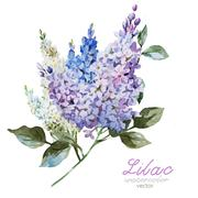 Stock Illustration of Lilac branch