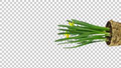 Growing, opening and rotating Narcissus with ALPHA, 4K vertical - stock footage