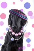 A female Dog dressed as a funky Lady with lots of Jewels - stock photo