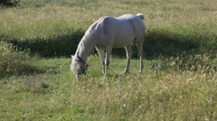 Gray horse is grazed in the field with oats early in the morning Stock Footage