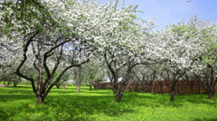 Blossoming apple-trees near a fence in an apple-tree garden Stock Footage