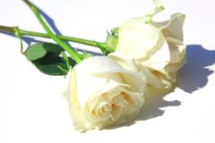 Stock Photo of white roses with leaves and stem