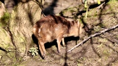 Young Muntjac Stock Footage