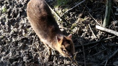 Young Muntjac Eating Tree Bark Stock Footage