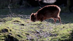Young Muntjac Standing in Wood  Stock Footage