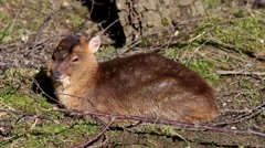 Young Muntjac Sitting in Wood  Stock Footage