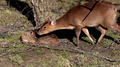 Young Muntjac Sitting in Wood with Mother Stock Footage