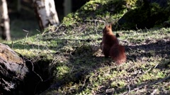 British Red Squirrel searching for Food Stock Footage