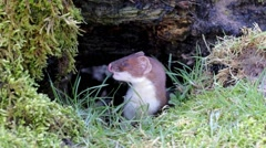 Stoat looking Out of a Hole Stock Footage