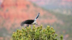 Western Scrub Jay flies away Slow Motion Stock Footage