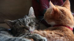Cats cuddle and yawn Stock Footage
