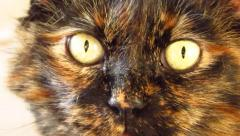 Calico persian cat close up Stock Footage