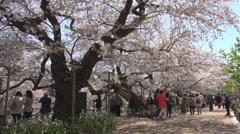 Tourist people relax cherry tree sakura garden asian japanese Tokyo landmark day Stock Footage