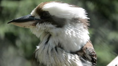 A Kookaburra Close up - stock footage