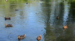 Ducks lake summer 01svv Stock Footage
