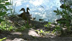 Ducks Pond summer 05svv Stock Footage