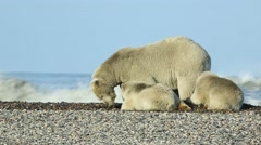 Polar bear mother and two cubs Stock Footage