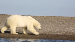 Polar bear walking along shore Stock Footage