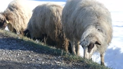 Sheeps Next To The Road - Domestic Animals - stock footage