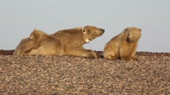 Golden Polar bear cubs interacting with mother Stock Footage